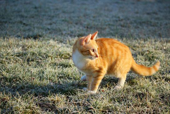 salna kaķis pixabay