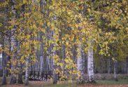 bērzs rudens lapas Vaivada VZ